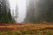 Huckleberry, sedges, and grasses bring warm color to the cool fog that fills the air in a meadow along the Pacific Crest Trail in the Indian Heaven Wilderness of the Gifford Pinchot National Forest, Washington state, USA.