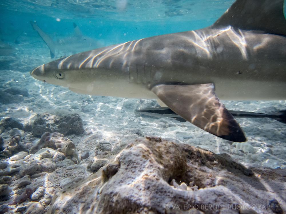 Black Fin sharks swim in shallow waters in the Ile de Recife, a paradisiac beach in the atoll of Rangiroa in French Polynesia