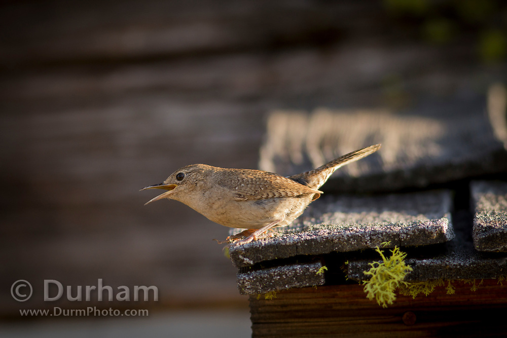 House Wren, (Troglodytes aedon), photographed on an pioneer cabin in Washington. It occurs from Canada to southernmost South America, and is thus the most widely distributed bird in the Americas. It occurs in most suburban areas in its range and it is the single most common wren. Photographed in Conboy Lake National Wildlife Refuge, Washington. © Michael Durham / www.DurmPhoto.com