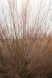 Salix purpurea 'Nancy Saunders' in winter. Willow
