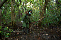 A keeper at IAR carries a juvenile orangutan on her back and walks with another from their cage to a patch of forest where they will learn skills for the wild <br />