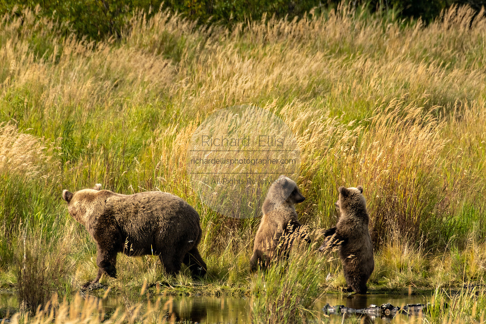 A sow Brown Bear keeps a watchful eye on her cubs at the lower Brooks River in Katmai National Park and Preserve September 16, 2019 near King Salmon, Alaska. The park spans the worlds largest salmon run with nearly 62 million salmon migrating through the streams which feeds some of the largest bears in the world.