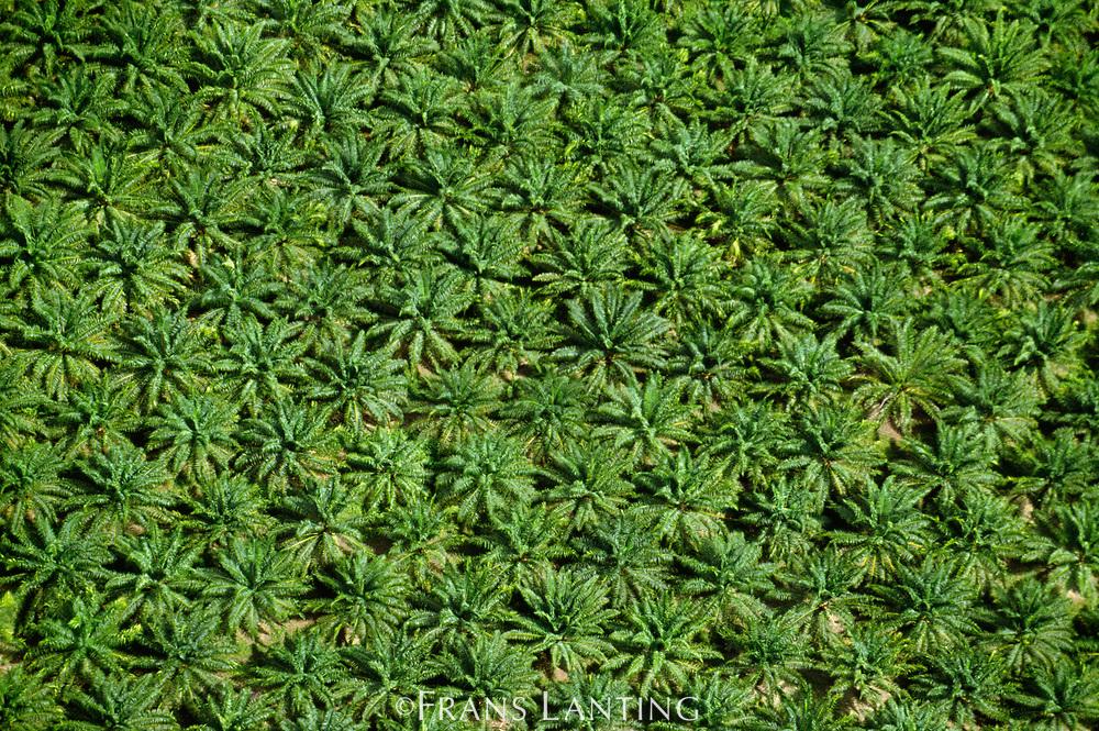 Oil palm plantation, Sabah, Borneo