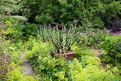 Pot of Cerinthe major 'Purpurascens' and Eucomis comosa 'Sparkling Burgundy' surrounded by Alchemilla mollis at Glebe Cottage