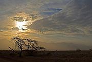 Israel, southern Arava desert near Eilat  lone Acacia tree at dusk