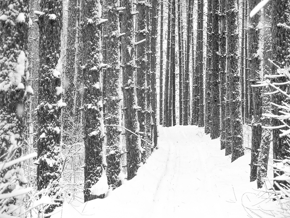 Red Pine Trees in a Maine Forest