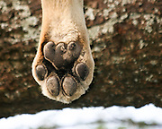 Africa, Tanzania, Serengeti National Park, close up of a Lioness's (Panthera leo) Paw