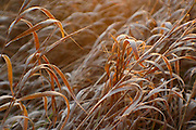 Frosted and curled grass illuminated by the morning sun. PLEASE CONTACT US FOR DIGITAL DOWNLOAD AND PRICING.