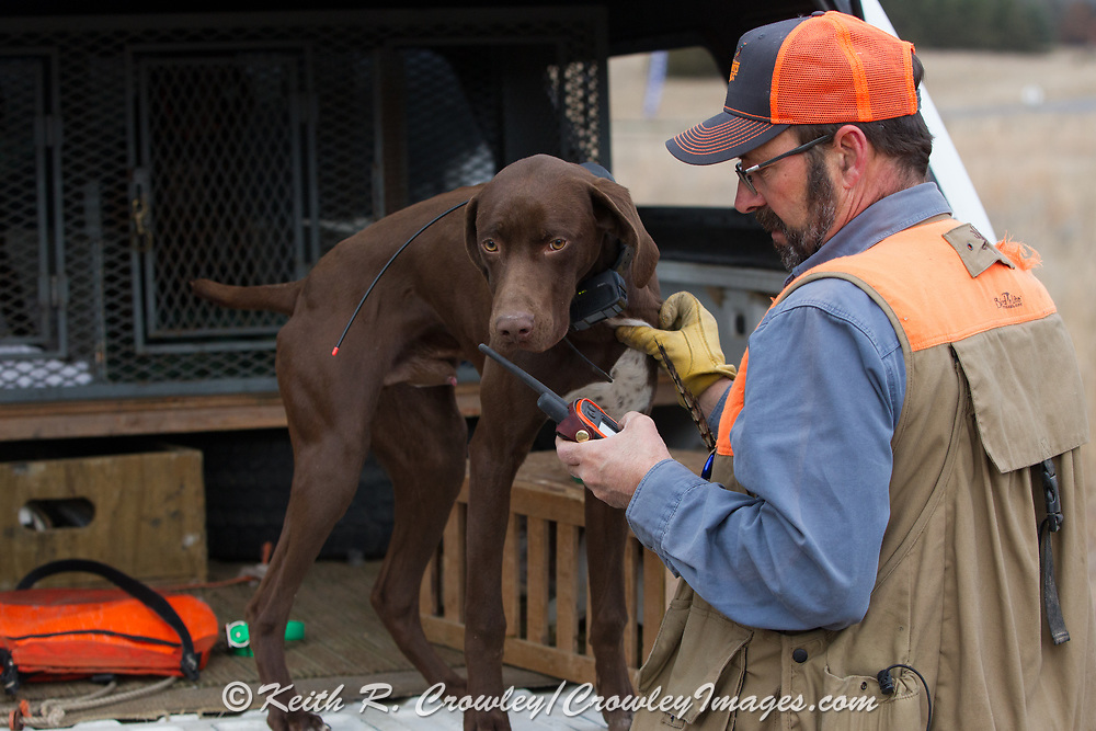 John Zeman sets up the Garmin GPS tracking collar for a six-month old GSP pup during a pheasant hunt in Minnesota