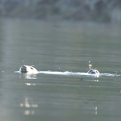 Harbor Seals (Phoca vitulina) in Obstruction Pass off Orcas Island, San Juan Islands, Washington, US