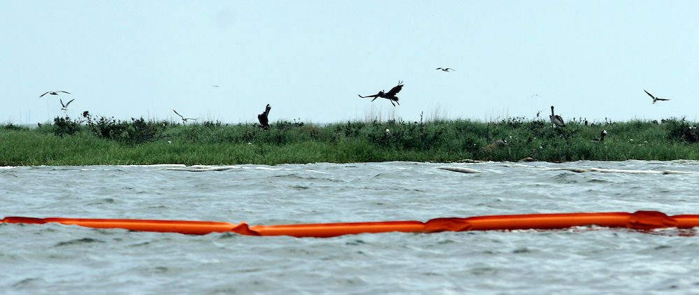 26 May 2010. Grand Isle, Lafourche Parish, Louisiana. <br /> From Barataria Bay to Grand Isle. Cat Island, a prefered nesting ground for Pelicans, gulls and herons  is protected by boom but oil keeps seeping ashore.  The environmental and economic impact is devastating with shrimp boats tied up, vacation rentals and charter boat fishing trips cancelled the only business for shrimpers is loading and laying boom and working for big oil. Oil from the Deepwater Horizon catastrophe is evading booms laid out to stop it thanks in part to the dispersants which means the oil travels at every depth of the Gulf and washes ashore wherever the current carries it. <br /> Photo credit; Charlie Varley<br /> www.varleypix.com