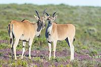 Eland Cows, De Hoop Nature Reserve, Western Cape, South Africa