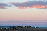 Large colonies of Gentoo Penguins (Pygoscelis papua) at The Neck, Saunders Island, the Falklands.