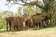Africa, Tanzania, Ngorongoro Ngorongoro Conservation Area (NCA) A herd of African Bush Elephant (Loxodonta africana) rest in the shade