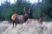Two young Tule elk males graze near the coastal redwoods of northern california.