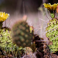 063015       Cable Hoover<br /> <br /> A prickly pear cactus blooms in the summer sun Tuesday in El Morro.