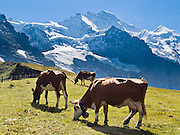 "Cows graze in alpine pastures at Kleine Scheidegg beneath the icy peak of Jungfrau (4158 meters or 13,642 feet) in the Berner Oberland, Switzerland, the Alps, Europe. The Bernese Highlands are the upper part of Bern Canton. UNESCO lists ""Swiss Alps Jungfrau-Aletsch"" as a World Heritage Area (2001, 2007)."