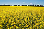 canola crop in bloom<br /> New Liskeard<br /> Ontario<br /> Canada
