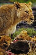 Lioness letting her cubs feed on her wildebeest kill