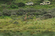 Tanzania wildlife safari giraffes Safari jeeps can be seen watching the giraffes