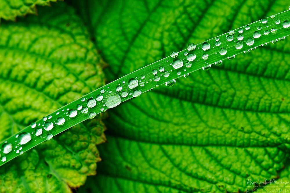 Dew drops gather on a green blade of grass surrounded by green leaves.