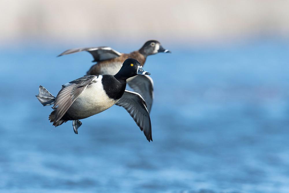 Ring-necked Ducks, Aythya collaris, male & female, Harsen's Island, Michigan