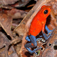 Alberto Carrera, Dart Poison Frog, Blue Jeans, Oophaga pumilio, Dendrobates pumilio,Tropical Rainforest, Costa Rica, Central America, America
