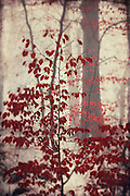 Vivid red leaves on a small tree on a misty winter day...<br />