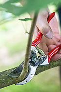 Tony Kirkham using secateurs to prune Liriodendron chinense (Chinese tulip tree) - BEFORE pruning