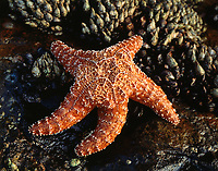 To highlight the bright orange color of this tide pool starfish, I photographed the sea creature against a dark rock and barnacle background along the San Diego coastline.