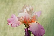 close up or iris in garden