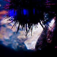TAMPA, FL -- Urchin cling to a tank at the Florida Aquarium in Tampa, Florida.  The aquarium boast numerous exhibits and ecosystems such as the Wetlands Trail, Bays and Beaches, Coral Reef, and Ocean Commotion.  (Photo / Chip Litherland)