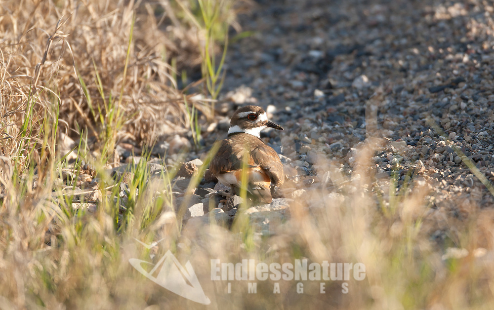Killdeer nest in a depression that is mostly gravel and can be found alongside paths and roads in the spring.