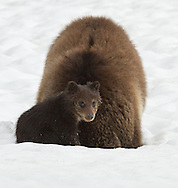 A grizzly cub can spend up to three years with his mother as she teaches him everything she knows about survival. This cub-of-the-year watches in earnest as his mother digs for voles under the snow. Although unsuccessful in this attempt, mother grizzly has identified an important food source for her cub which he will remember into adulthood.