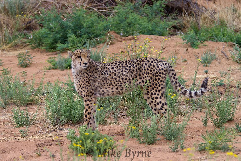 Cheetah (Acinonyx jubatus) in Okonjima, Namibia.
