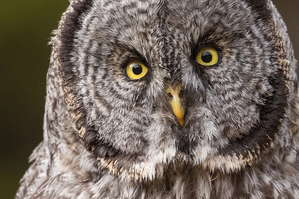 The most striking feature of the  great grey owl is its piercing yellow eyes. Large and forward facing, these incredible eyes account for almost 5 percent of the owl's body weight. These large eyes help the owl see more clearly under low light conditions when the owl is most active.