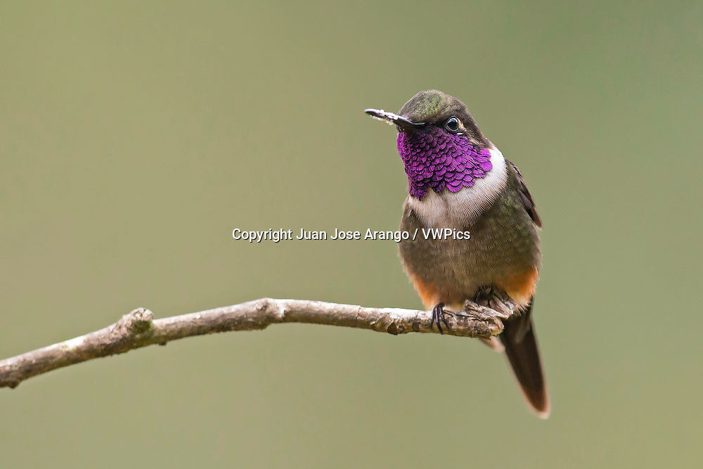 Purple-throated Woodstar (Calliphlox mitchellii), male, Cali, Valle del Cauca