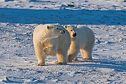Two polar Bears (Ursa maritimus) on sub-arctic Hudson Bay <br />