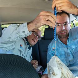 Manomet's Brad Winn (left), and Alan Kneidel weigh a whimbrel, Numenius phaeopus, captured in Wellfleet, Massachuisetts.