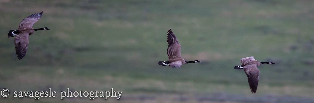 Canada geese in flight. Yellowstone National Park  May 2013