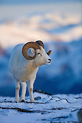 Dall's Sheep, Ovis dalli dalli, ram, closeup, horns, early winter, snow, alpine tundra;  adult wt: to 250 lbs.; winter food: grasses & sedges on windblown ridges, inhabits mountains in Alaska and Canada; Denali National Park, Alaska, ©Craig Brandt, all rights reserved; brandt@mtaonline.net