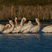 White pelicans. Cherry River, Bozeman, Montana.