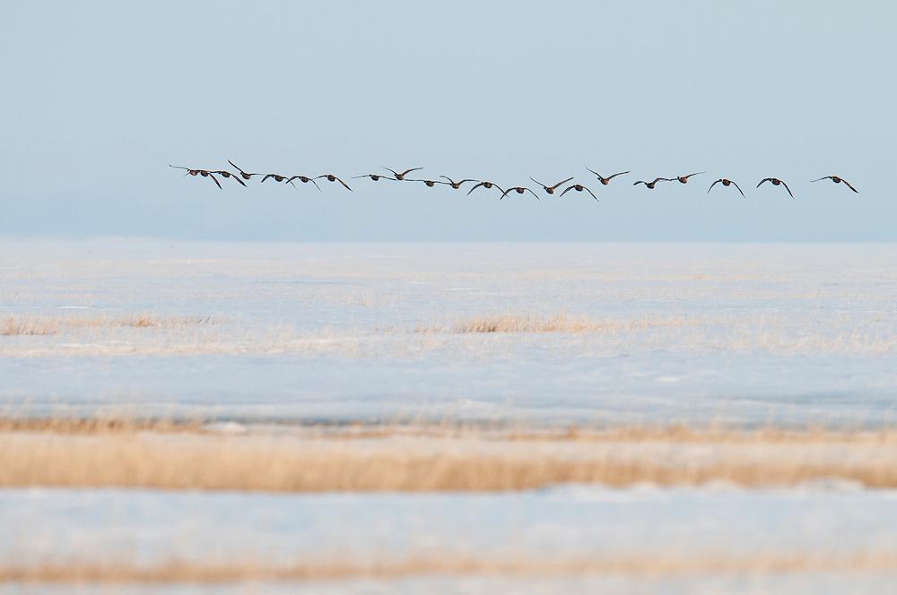 Black Brant; Branta bernicla nigricans, first arrivals at Tutakoke, Yukon Delta NWR, Alaska
