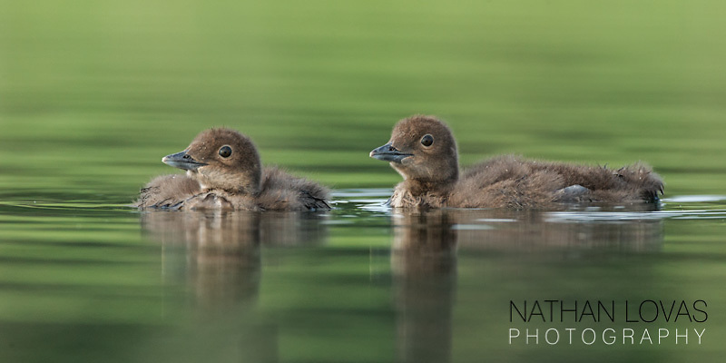 Loon chicks floating on green water;  Minnesota.