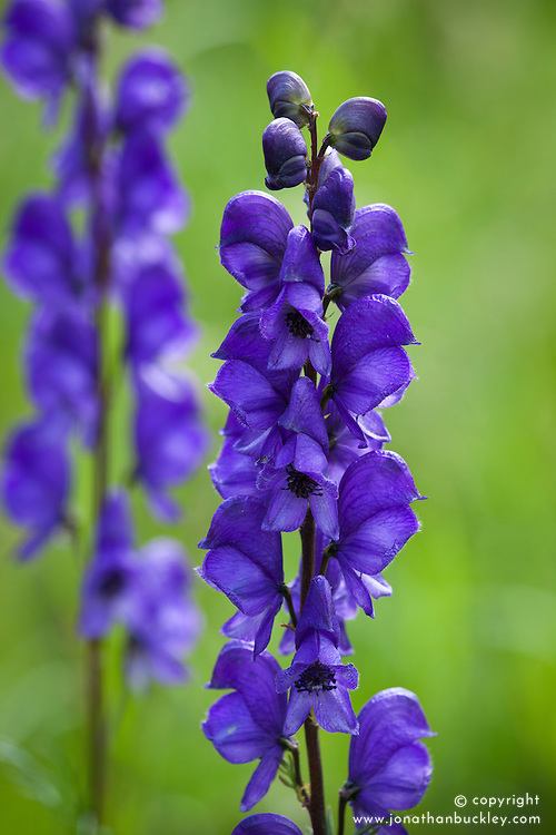 Monkshood. Aconitum napellus