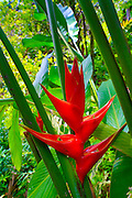 Heliconia, Hawaii Tropical Botanical Garden, Hilo, Hamakua Coast, Big Island of Hawaii