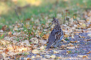 Ruffed grouse on gravel road.