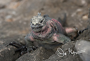 A Galapagos marine iguana climbs up rocks on Espanola island, Galapagos islands, Ecuador.