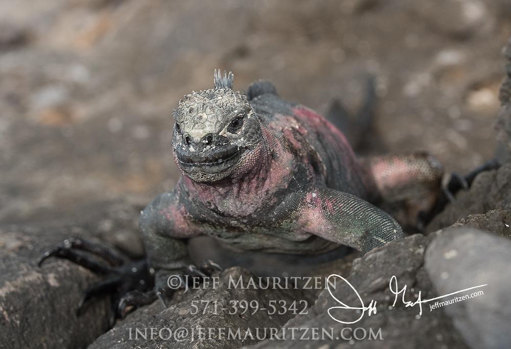 A Galapagos marine iguana climbs up rocks on Espanola island, Galapagos islands, Ecuador.