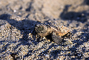 Loggerhead Sea Hatchling, Juno Beach, Florida, United States